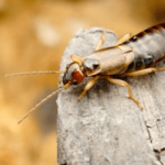 earwig Western Exterminating Haltom City Texas Fort Worth pest control entomology