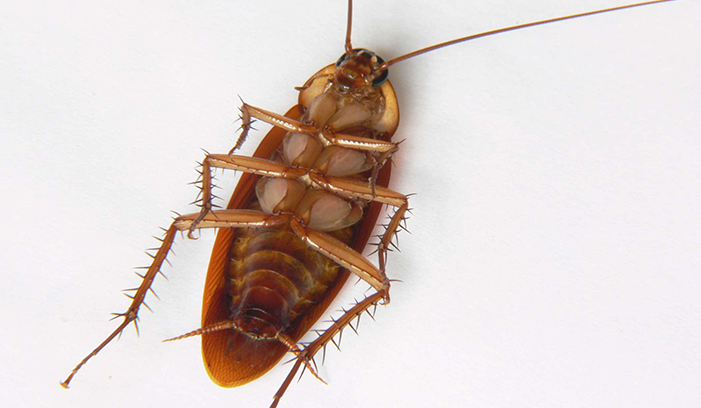cockroach Western Exterminating Haltom City Texas Fort Worth pest control entomology