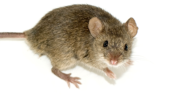 rodent Western Exterminating Haltom City Texas Fort Worth pest control entomology