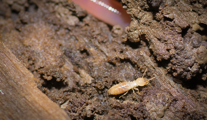 termites Western Exterminating Haltom City Texas Fort Worth pest control entomology