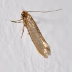 moth Western Exterminating Haltom City Texas Fort Worth pest control entomology