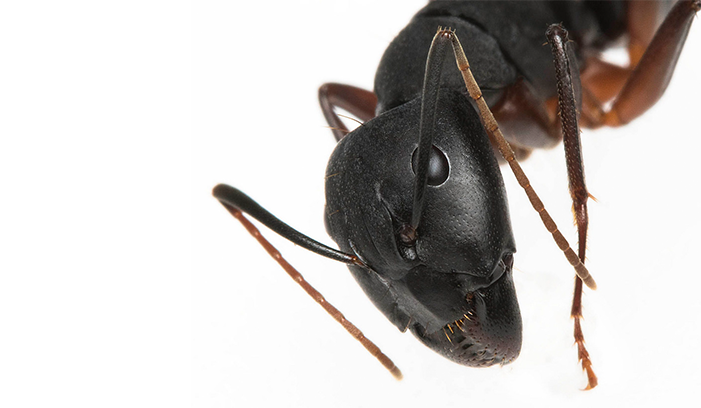 carpenter ants Western Exterminating Haltom City Texas Fort Worth pest control entomology carpenter ants