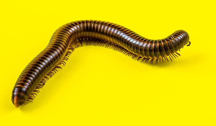 Western Exterminating Haltom City Texas Fort Worth pest control entomology milipede