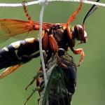 Western Exterminating Haltom City Texas Fort Worth pest control entomology cicada killer