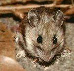 rodent rat mouse Western Exterminating Haltom City Texas Fort Worth pest control entomology