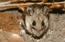 rodent rat mouse Western Exterminating Haltom City Texas Fort Worth pest control entomology