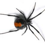 black widow Western Exterminating Haltom City Texas Fort Worth pest control entomology