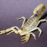 scorpions Western Exterminating Haltom City Texas Fort Worth pest control entomology
