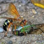 cicada killer Western Exterminating Haltom City Texas Fort Worth pest control entomology