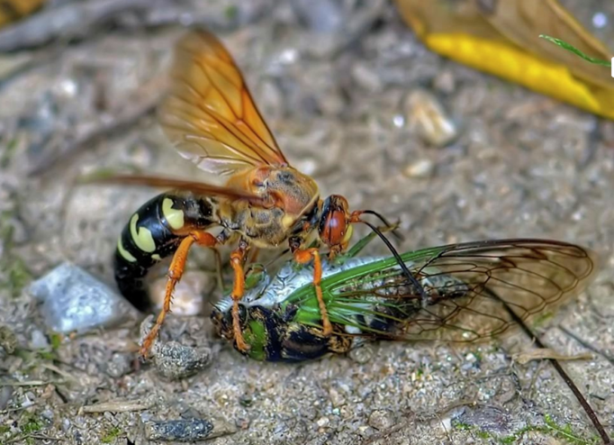 cicada killer Western Exterminating Haltom City Texas Fort Worth pest control entomology