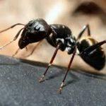 ant Western Exterminating Haltom City Texas Fort Worth pest control entomology