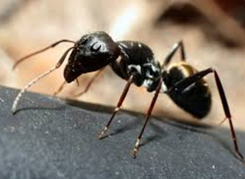 ant Western Exterminating Haltom City Texas Fort Worth pest control entomology