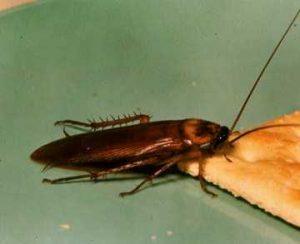 AMERICAN COCKROACH Western Exterminating Haltom City Texas Fort Worth pest control entomology