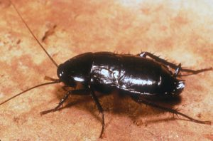 oriental cockroach Western Exterminating Haltom City Texas Fort Worth pest control entomology