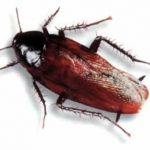 smoky brown roach Western Exterminating Haltom City Texas Fort Worth pest control entomology smoky brown roach