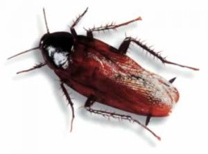 smoky brown roach Western Exterminating Haltom City Texas Fort Worth pest control entomology smoky brown roach